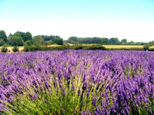 10 Lavender field
