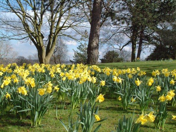 DaffodilsonBirchHill