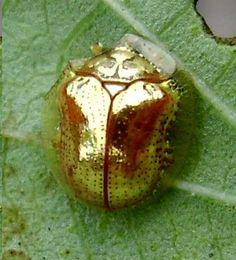 goldenladybug